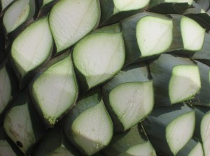 Agave, up close, taste tequila